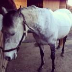 equine acupuncture patient 4