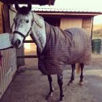 equine acupuncture patient in coat