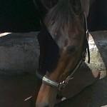 horse acupuncture patient