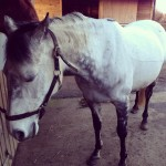 equine acupuncture patient 4