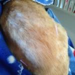 feline skin issue